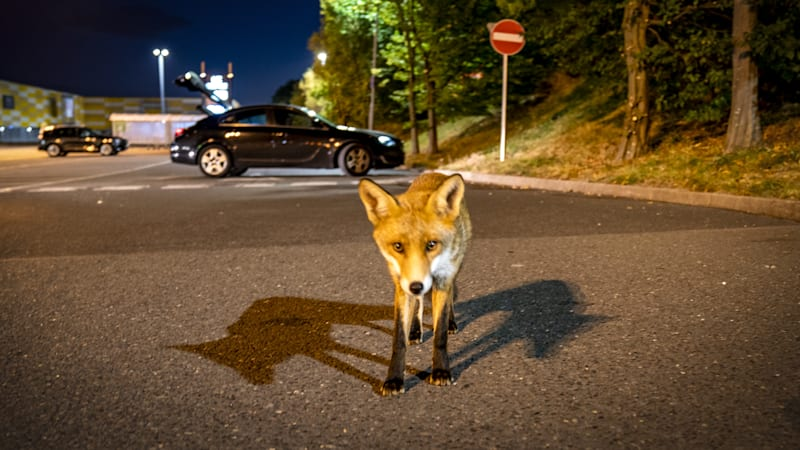 While squirrel packs truck with nuts, 'frenzied' foxes are cutting brake lines